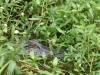 Gators-r