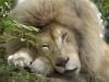 ASEAB D. Morin - Le Roi Lion