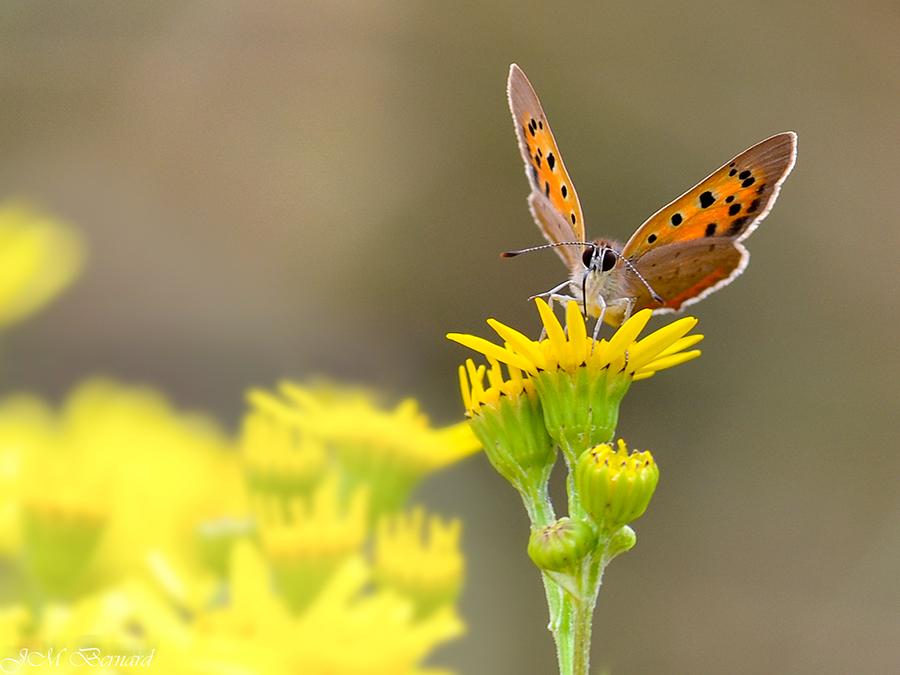 Papillons fleur jaune