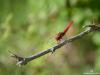 libellule-rouge-1907-B