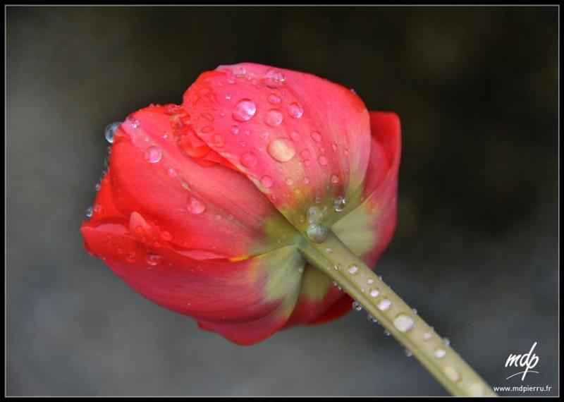 tulipe_9549-copie